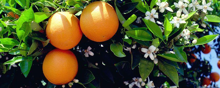 Valenciaanse Sinaasappel