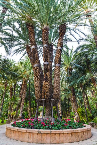 Imperial Palm Tree
