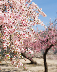 Almond blossoms in Malaga