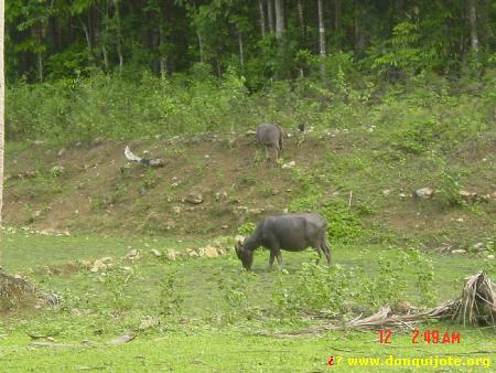 Carabao animals