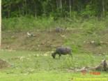 Carabao animals