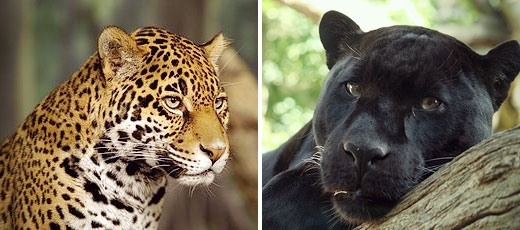 The Jaguar In Mexico God Of The Olmecs Don Quijote