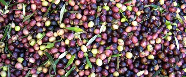 Les fruits de l'olivier