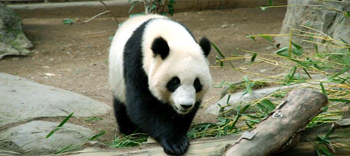Panda in Spain